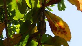 De palmeekhoorn beklimt een tropische boom stock videobeelden