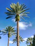 De palmen bevinden zich lang Stock Afbeelding