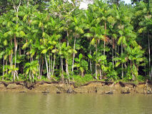 De Palmen van Acai Stock Foto
