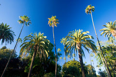 De palmen van Californië Stock Afbeelding