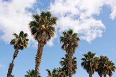 De Palmen van Californië ` s met een blauwe hemel Stock Afbeeldingen