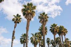 De Palmen van Californië ` s met een blauwe hemel Stock Foto