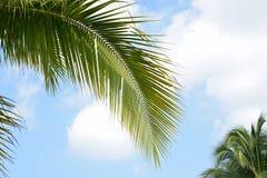De palmen van de bladkokosnoot Royalty-vrije Stock Foto