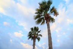 De palmen van de dessertventilator of de ventilatorpalmen van Californië Stock Foto's