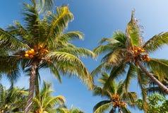 De palmen van de kokosnoot Stock Fotografie