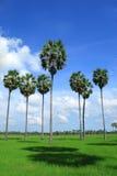 De palmen van de suiker op het gebied, Thailand Stock Foto's
