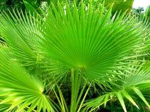 De Palmen van de ventilator Stock Afbeeldingen