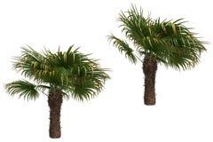 De palmen van de windmolen Royalty-vrije Stock Afbeeldingen