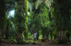De palmolie draagt bladeren op landbouwbedrijfgebied in het dorp van Bukit Lawang stock foto