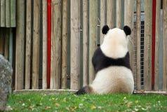 De panda draagt Stock Afbeeldingen
