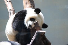 De panda draagt Stock Foto