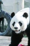 De panda draagt in de Dierentuin royalty-vrije stock fotografie