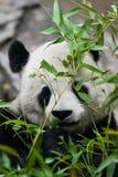 De panda draagt etend Royalty-vrije Stock Afbeeldingen
