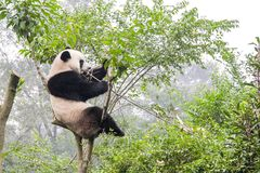 De panda draagt op bamboeboom, China stock foto's
