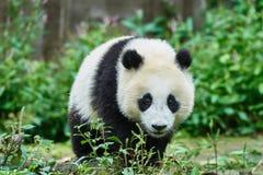 De panda draagt welp spelend Sichuan China Royalty-vrije Stock Afbeeldingen