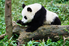 De panda draagt welp spelend Sichuan China Stock Fotografie
