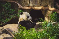 De panda draagt zittend en etend bamboe in een dierentuin stock fotografie