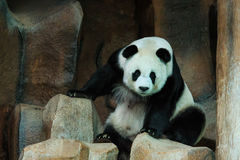 De panda, panda draagt Stock Afbeeldingen