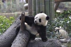 De Panda van China in Chengdu stock foto