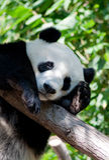 De panda van de slaap Royalty-vrije Stock Afbeelding