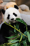 De panda van Kunfu!!! Stock Foto's