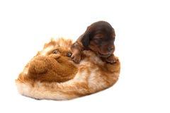 De pantoffel van het puppy binnenshuis Stock Foto