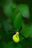 De Pantoffelorchidee van de dame, Cypripedium-calceolus, die Europese aardse wilde orchidee, aardhabitat bloeien stock foto's