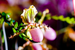 De pantoffelorchidee van de dame in Maleisië Stock Fotografie