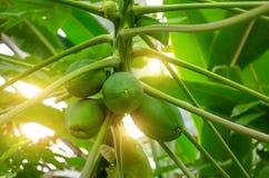De papaja van de fruitboom onrijp in het regenwoud Royalty-vrije Stock Afbeeldingen