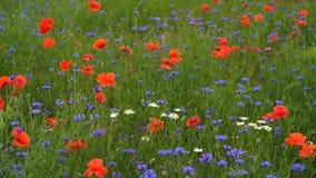 De papaver bloeit gebied en korenbloemen en daysies stock footage