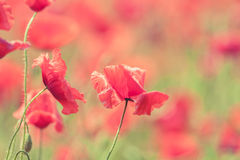 De papaver bloeit retro vreedzame de zomerachtergrond Royalty-vrije Stock Foto's