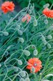 De papaver ontluikt en bloemen in de trillende kleurrijke rode en oranje natuurlijke installatie van de bloeilente Royalty-vrije Stock Afbeelding