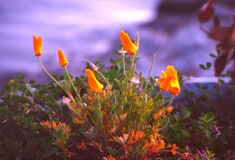 De papaver van Californië Royalty-vrije Stock Fotografie