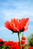 De Papaver van de lente royalty-vrije stock afbeeldingen