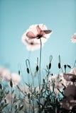 De Papaver van het graan bloeit rhoeas van de Papaver stock afbeeldingen