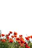 De Papaver van het graan bloeit rhoeas van de Papaver stock afbeelding
