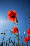 De Papaver van het graan bloeit rhoeas van de Papaver royalty-vrije stock afbeelding