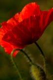 De papaver van het graan (rhoeas van de Papaver) Stock Foto
