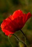De papaver van het graan (rhoeas van de Papaver) royalty-vrije stock foto