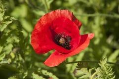 De papaver van Vlaanderen een rode papaver met zwart centrum royalty-vrije stock afbeeldingen