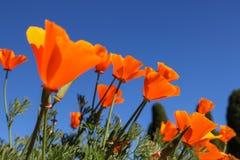 De papaverbloem van Californië Mening die omhoog naar blauwe hemel kijken Royalty-vrije Stock Foto's
