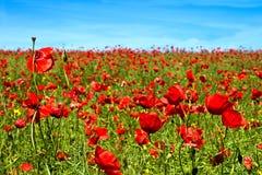 De papaverbloemen van de zomer Royalty-vrije Stock Afbeeldingen