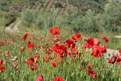 De papavergebieden ontmoeten olijfgaarden Royalty-vrije Stock Foto's