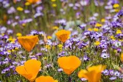 De papavers die van Californië op een weide, Goudvelden en Gilia op de achtergrond bloeien, Californië stock foto