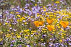 De papavers die van Californië op een weide, Goudvelden en Gilia op de achtergrond bloeien, Californië stock afbeeldingen