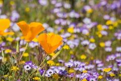 De papavers die van Californië op een weide, Goudvelden en Gilia op de achtergrond bloeien, Henry W Het Park van de Coestaat, Cal royalty-vrije stock afbeeldingen