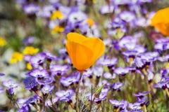 De papavers die van Californië op een weide, Goudvelden en Gilia op de achtergrond bloeien, Henry W Het Park van de Coestaat, Cal royalty-vrije stock foto