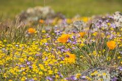 De papavers die van Californië op een weide, Goudvelden en Gilia op de achtergrond bloeien, Henry W Het Park van de Coestaat, Cal stock fotografie