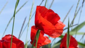 De papavers van bloemen stock videobeelden