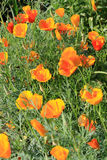 De papavers van Californië (Eschscholzia-californica) in bloei Stock Foto
